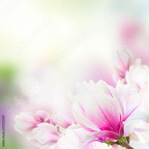 Obrazy Magnolie  galazka-z-kwitnacych-rozowych-kwiatow-magnolii-z-bliska-na-niebieskim-tle