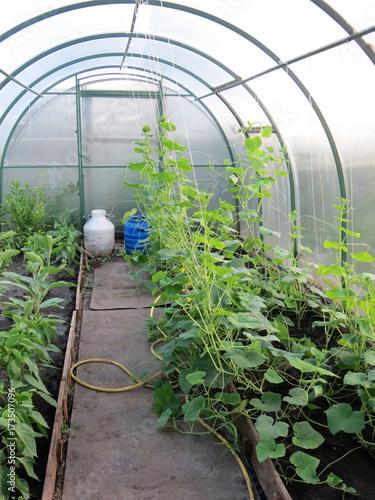 Cucumbers (Cucumis sativus) and peppers (Capsicum) growing