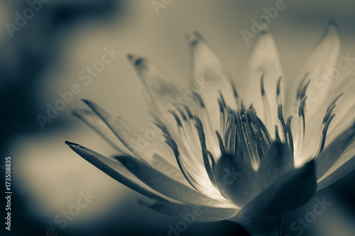 Beautiful black and white lotus bloom, macro