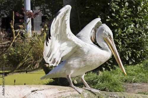 Aluminium Prints Camel Kroeskoppelikaan spreid vleugels uit