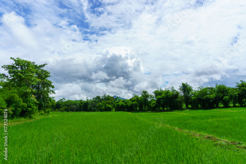 Photo Stands Cow rice fields with tree and cloudy sky background in countryside of thailand.