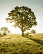 Leinwanddruck Bild - Lone tree on green field