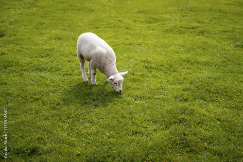 Foto op Canvas Pistache Baby lamb face. Cute animal standing meadow at Yorkshire Sculpture Park