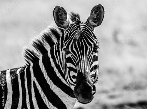 Poster Zebra b&w zebra