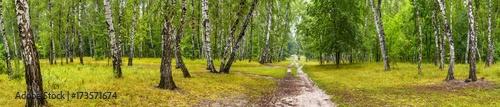 brzozowy-gaj-z-droga-w-sloneczny-letni-dzien-ogromna-panorama