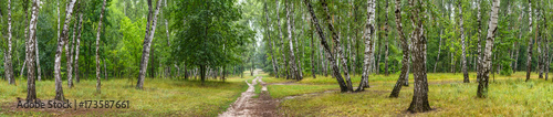 Birch grove with a road on sunny summer day, huge panorama