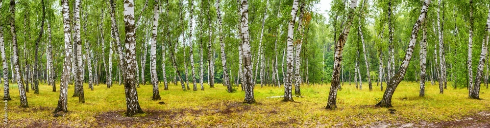 Birch grove on a sunny summer day, landscape banner, huge panorama