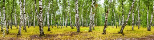 Foto auf Gartenposter Wald Birch grove on a sunny summer day, landscape banner, huge panorama