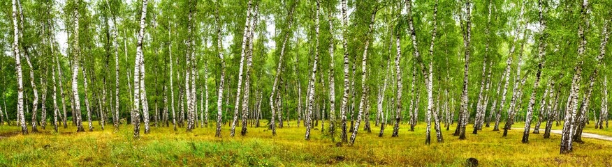 Fototapeta Birch grove on a sunny summer day, landscape banner, huge panorama