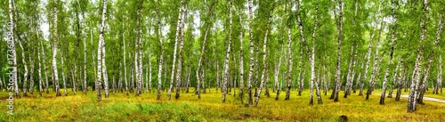 Printed kitchen splashbacks Birch Grove Birch grove on a sunny summer day, landscape banner, huge panorama