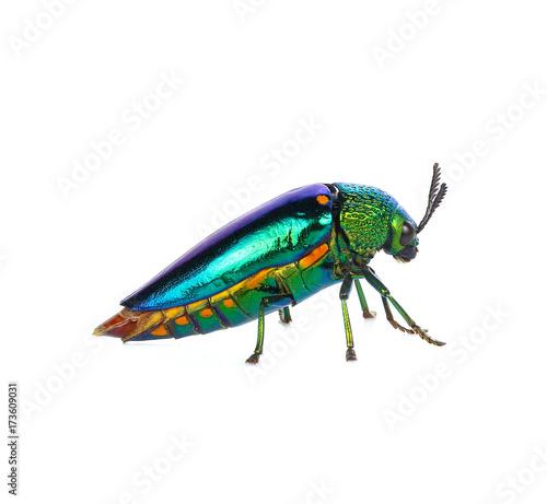 Jewel beetle, Metallic wood-boring beetle on white