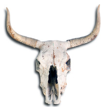 Old Cow Skull.