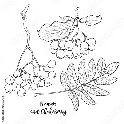 Fotografie, Obraz  Hand drawn black and white chokeberry, rowan berries and leaf, sketch style vector illustration isolated on white background