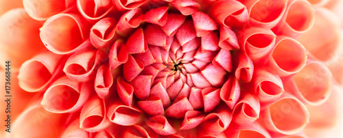Poster de jardin Dahlia Pink dahlia flower close-up