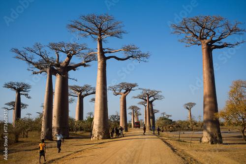 Fotobehang Baobab baobab Madagascar