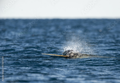 Fotografie, Tablou  Male narwhal swimming along the surface with it's tusk out, Northern Baffin Island, Canadian Arctic