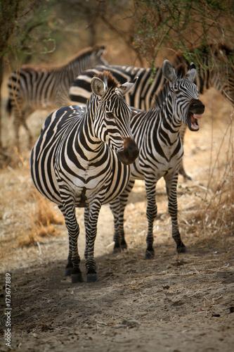 Zdjęcie XXL portret zebry
