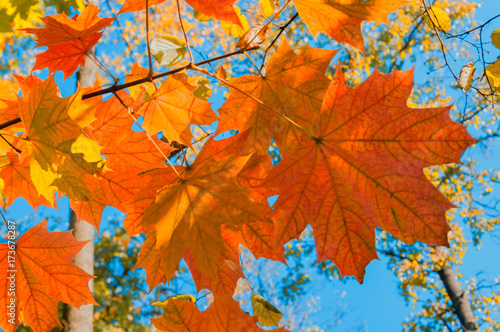 Deurstickers Oranje eclat Bright autumn landscape. Autumn tree leaves the blue sky background.
