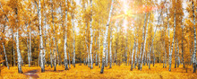 Birch Grove With A Road On Sunny Autumn Day, Landscape