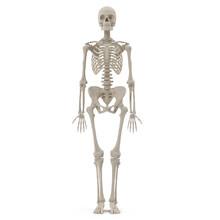 Medical Accurate Female Skelet...