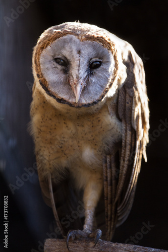 Poster  ashy faced owl (tyto glaucops) perched looking at camera
