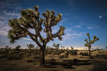 Moonlit Joshua Trees Under Sta...