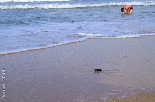 Plakat Mały morski żółw wyrzucony z fal.
