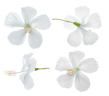 White Hibiscus Flower Isolated On White Background