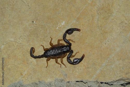 Scorpione (Euscorpius  flavipes) - ritratto