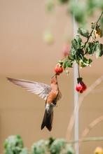 Hummingbird In Flight Sucking ...