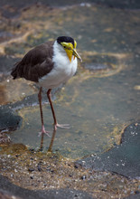 Lapwing In Puddle