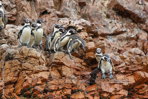 Humboldt Penguins in Peru