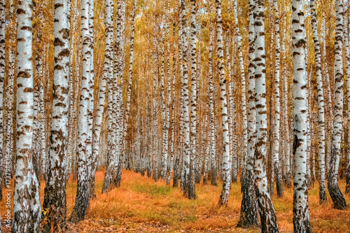 Autumn birch forest Fototapeta