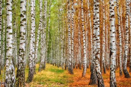 Autumn birch forest moves from summer to autumn