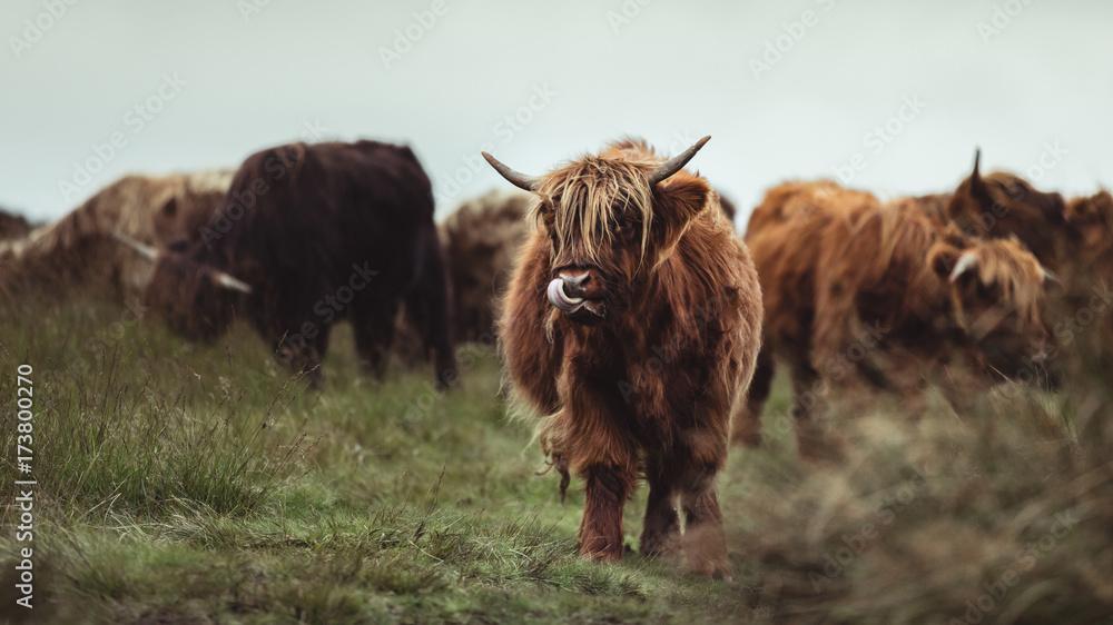 Fototapeta Highland Cattle