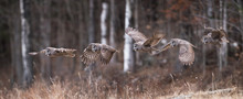Great Gray Owl Sequence