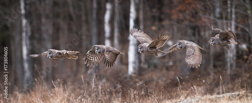 Photo sur Toile Chouette Great Gray Owl Sequence