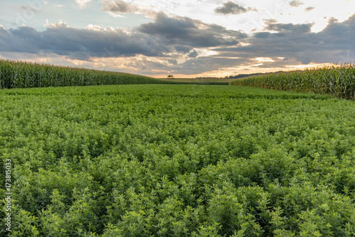 Photo Alfalfa and corn field on a cloudy evening at sunset