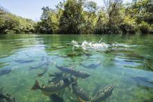 Big Fishes In Cristal Clear Wa...