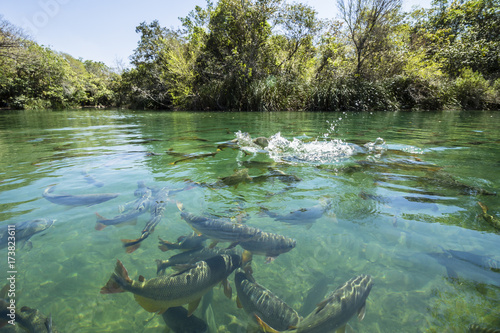 Canvas-taulu Big fishes in cristal clear water river