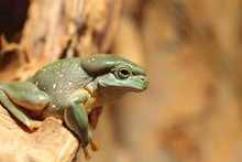 Magnificent Tree Frog Litoria ...