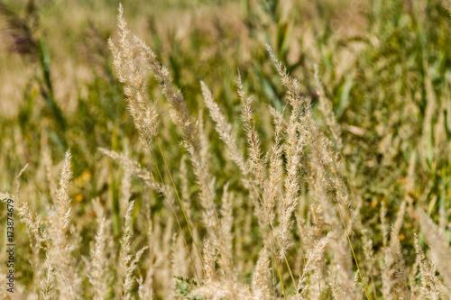 Fotografie, Obraz  dry grass sedge