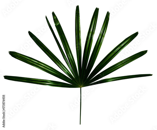 Canvas Prints Palm tree leaf shaped sharp isolated on white background