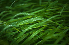 Fresh Green Grass With Dew Dro...