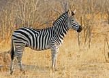 Burchell Zebra standing on the dried grass in Hwange, Zimbabwe