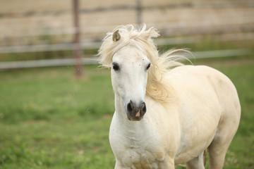White pony on pasturage