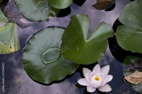 High Angle View Of White Lotus Flower Near Lily Pads In Pond After
