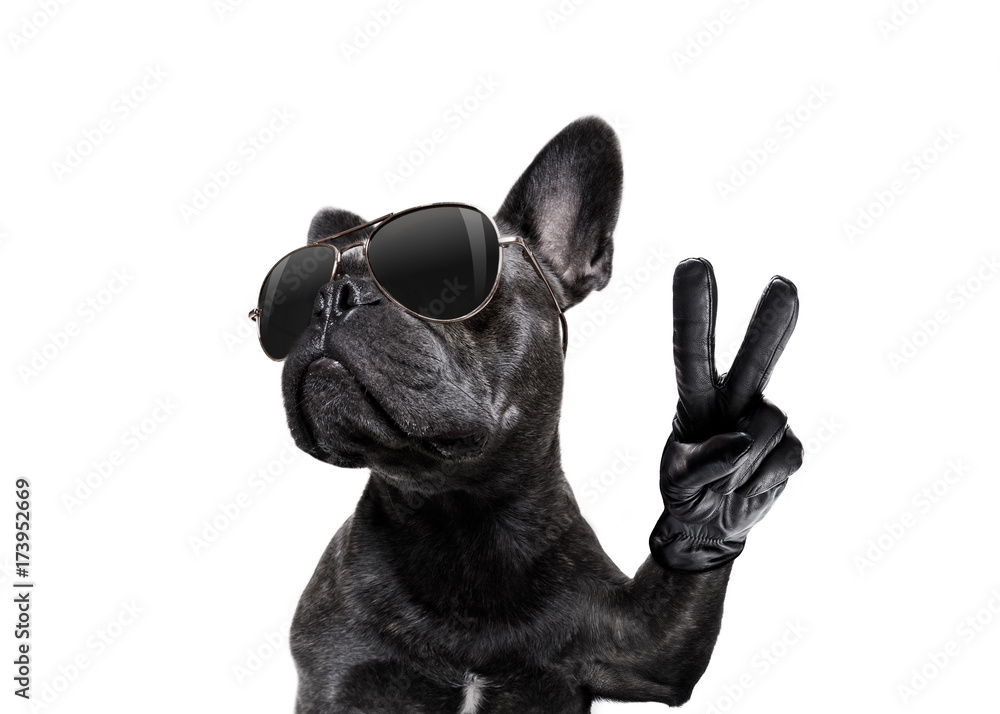 Fototapety, obrazy: posing dog with sunglasses and peace fingers