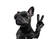 canvas print picture - posing dog with sunglasses and peace fingers