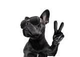Fototapeta Zwierzęta - posing dog with sunglasses and peace fingers
